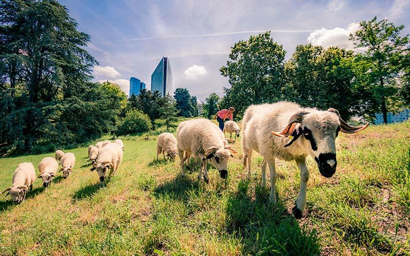 Moutons en Tranhumance Urbaine